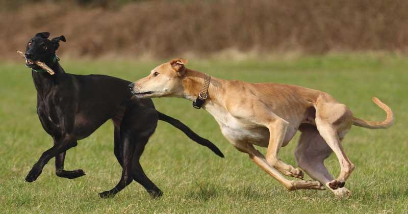Adopt A Greyhound Grey2k Usa Worldwide