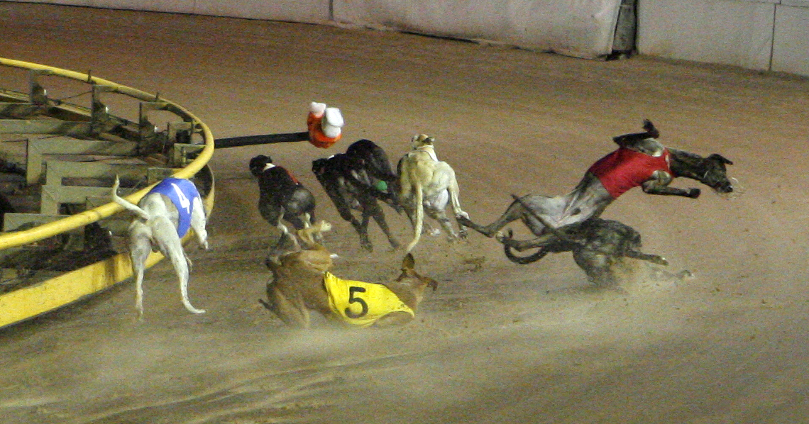 Greyhounds suffer a collision while racing in Australia