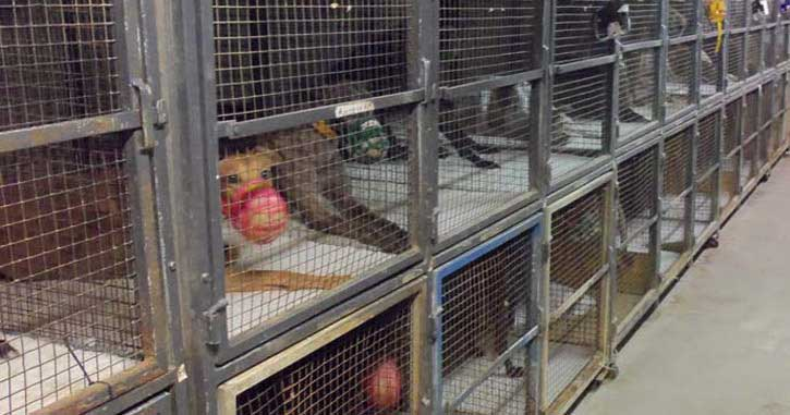Caged and muzzled greyhounds in the US state of Florida