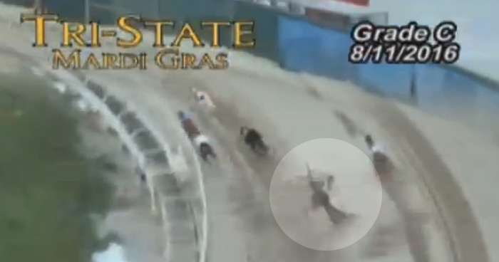 Racing greyhounds DKC Romancandle fell during this race and was later destroyed