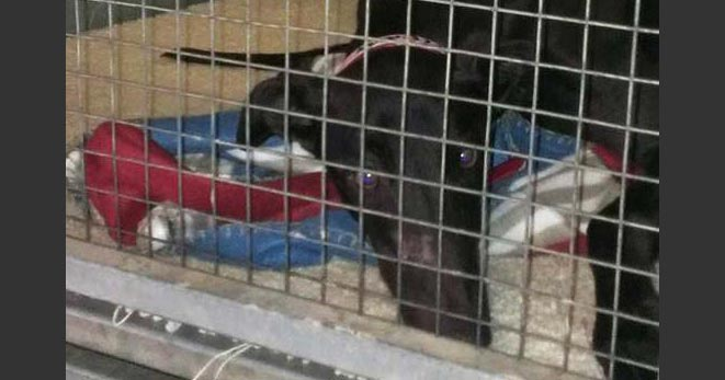 Like other US states greyhounds in Florida spend most of the day in a small cage