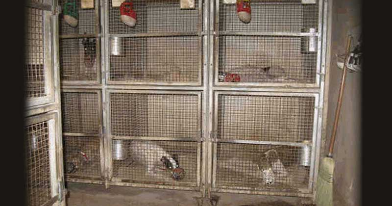 Racing greyhounds are caged most of the day in the U.S.