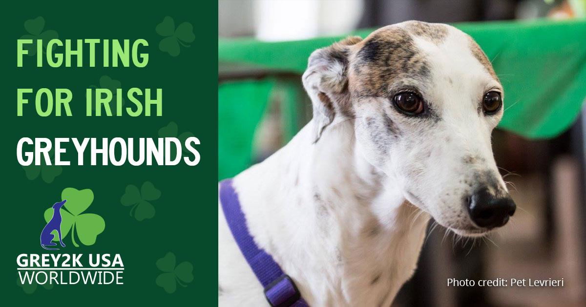 Fighting for Irish Greyhounds